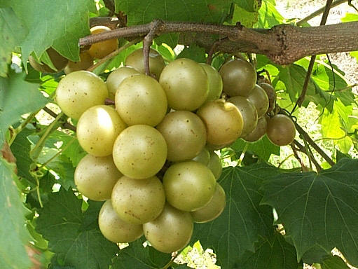 Arvila.us - Green Muscadines Grapes