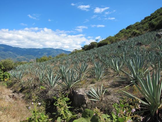 agave plants near Oaxaca